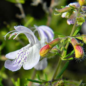 Conradina friendly florida plants resized 600