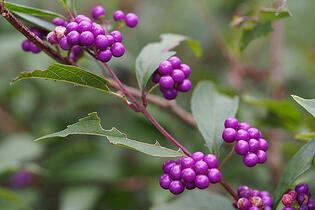Japanese beautyberry is a native plant in Northern Florida