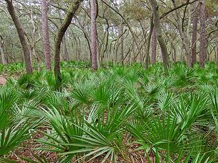saw palmetto is a native plant in Northern Florida