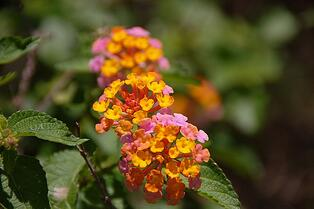 lantana is a native plant in Northern Florida