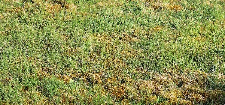 Large Patch Turf Fungus becomes an issue in the Fall and Winter