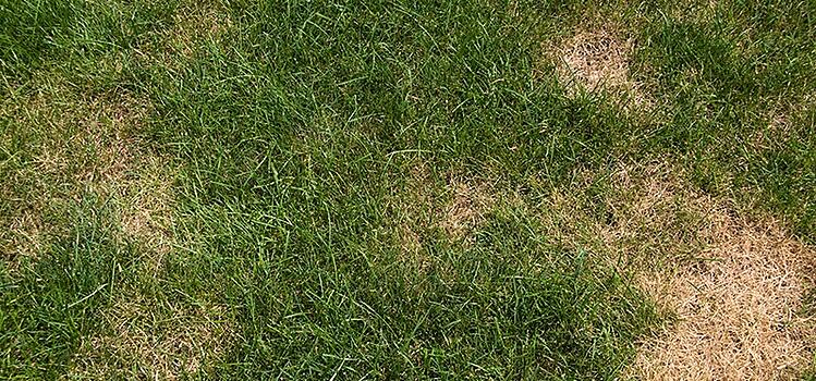 What is Large Patch Turf Disease