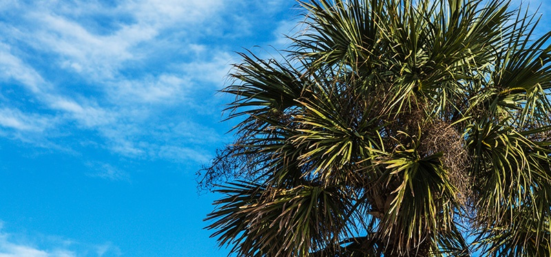 Mature Sabal Palm Trees can Withstand Hurricane Force Winds