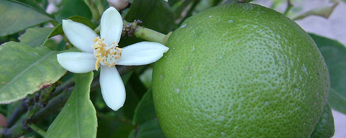 Persian lime is one of the best fruit trees for edible landscaping in North Florida