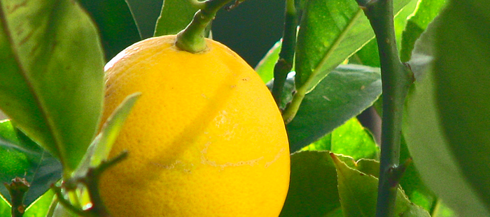 Meyer lemon is one of the best fruit trees for edible landscaping in North Florida