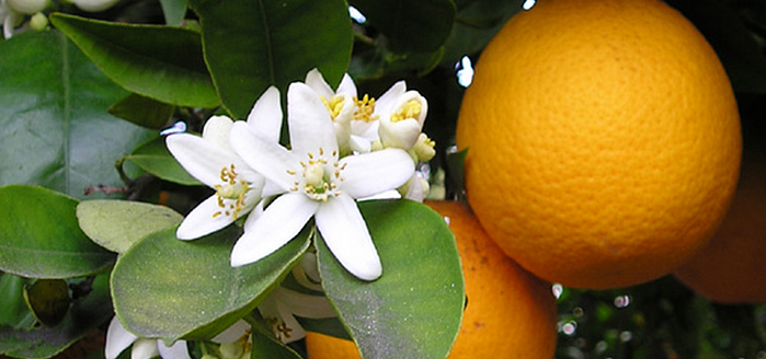 Hamlin organce is one of the best fruit trees for edible landscaping in North Florida