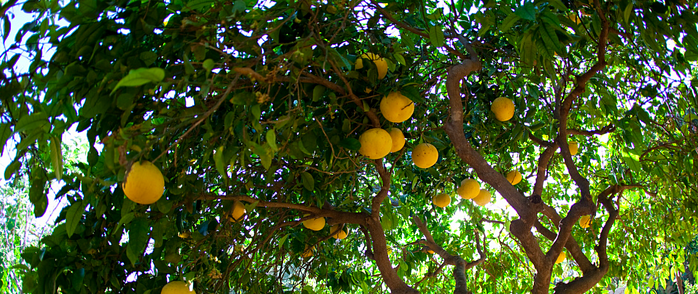 Grapefruit is one of the best fruit trees for edible landscaping in North Florida