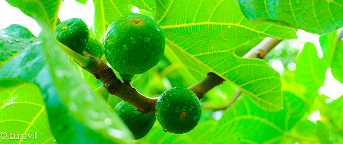 Fig trees are one of the best fruit trees for edible landscaping in North Florida
