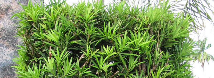 Japanese Yew is one of the best windbreak plants in Florida