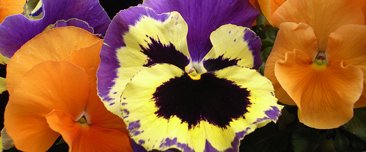 pansies are a great flower choice for a colorful winter landscape in the Florida Panhandle