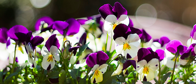 violas are a great flower choice for a colorful winter landscape in the Florida Panhandle