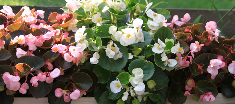 begonias are a great flower choice for a colorful winter landscape in the Florida Panhandle