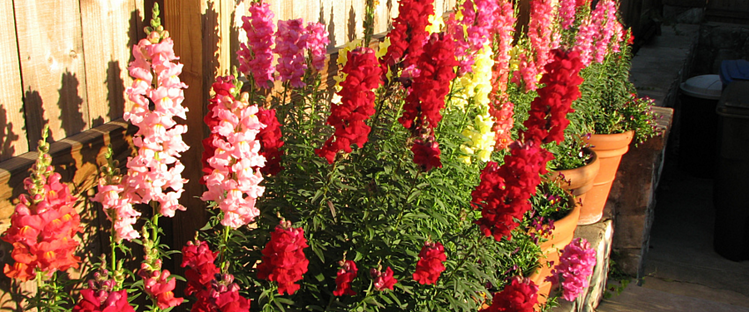 snapdragons are a great flower choice for a colorful winter landscape in the Florida Panhandle